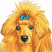 vector color sketch of the dog red Poodle breed isolated on the white background poster