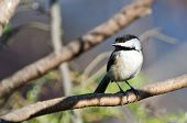 A Black-Capped Chickadee Perched on a Branch poster