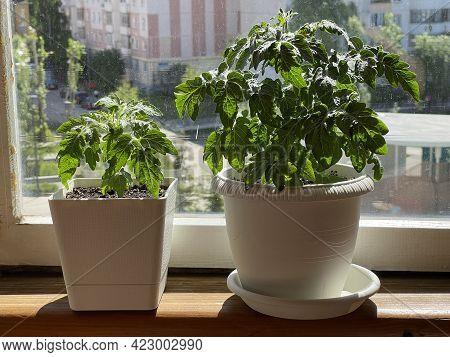 Balcony Garden. Tomato Bush In A Pot On The Balcony Of A Residential Multi-storey Building