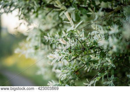 Variegated Bush, Flowering Of Incredible Beauty, Incredible Wildlife