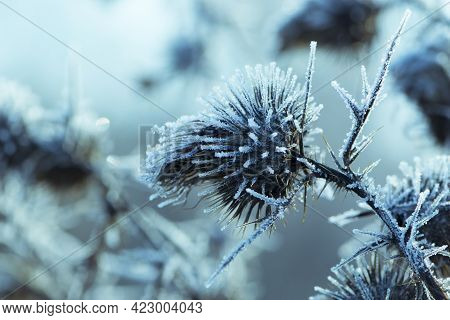 Dry Prickly Plant Covered With Ice Close-up Background. Frozen Thistle With Ice. Soft Grey Backgroun