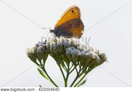 Small Copper Butterfly, Hyponephele Lupinus, Perched On White Wildflower In Nature. Orange Wing. Mac