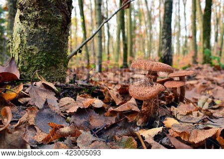 Edible Mushrooms, Season. Mushrooms In The Autumn Forest In The Leaves. Group Armillaria Fungus, In