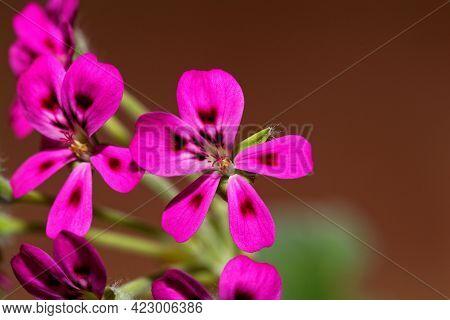Flower Of The Pelargonium Species Pelargonium Echinatum