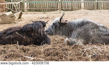 The Yak Is A Cloven-hoofed Mammal From The Genus Of True Bulls Of The Family Polorogih. Two Animals