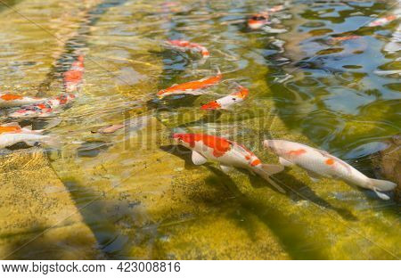 Colorful White And Orange Japanese Carp Swim In The Yellowed Artificial Pond Of The City Park