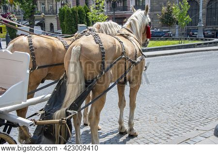 A Pair Of Horses With Blinders On Their Eyes Harnessed To A Carriage Stand In The City On The Cobble