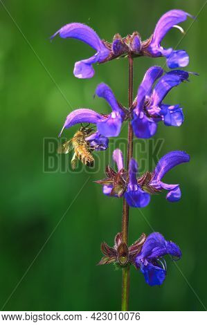 Bee Sucks Nectar From Common Salvia Flower