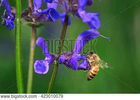 Flower Salvia Pratensis With A Bee Looking For Nectar