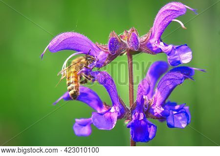 Salvia Pratensis Flower With A Bee At Work