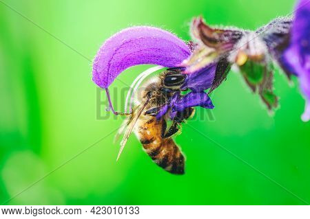 A Bee In The Italian Alps That Sucks Nectar By Salvia Pratensis
