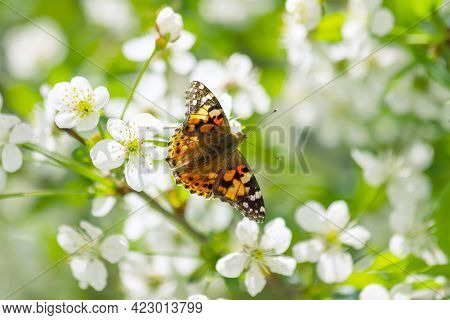 Awakening Of Nature. Beatiful Colourful Butterfly Known As The Painted Lady - Vanessa Cardui - On Th