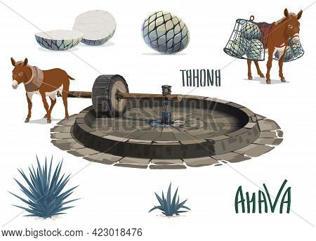 Blue Agave Growing And Aguamiel Extraction For Tequila. Donkey Or Mule Carrying Agave Pina Heart Or