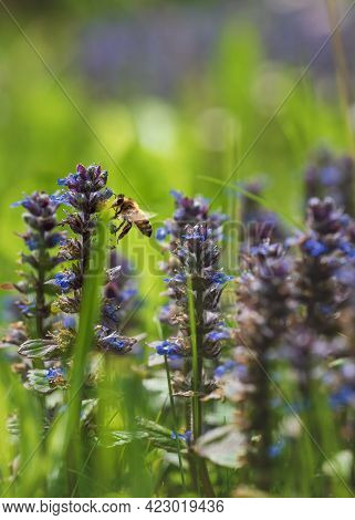 Bee Flying Around Purple Common Bugle Flowers, Latin Name Ajuga, Collecting Pollen In Sunny Meadow,