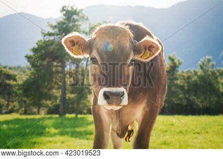 Cute Sunlit With Backlight Calf From The Brown Cattle Breed On An Alpine Pasture Meadow In The Mount