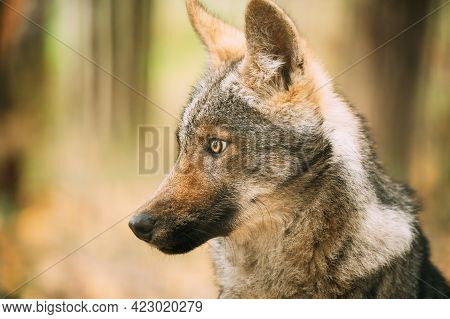 Funny Curious Young Puppy Gray Wolf. Close Up Portrait Of Cub Wolf, Canis Lupus, Gray Wolf, Grey Wol