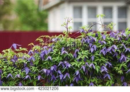 Hedge Of Blooming Purple Alpine Clematis Next To The Summer Cottage