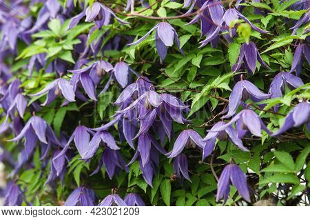 Siberian Or Alpine Clematis Blooming With Purple Flowers, Closeup