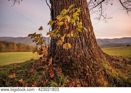 Small Sapling Growing Close To Base Of Large Tree In Cades Cove
