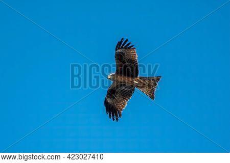 The Bird Of Prey Black Kite Flying In Blue Sky. The Black Kite, Milvus Migrans, Is A Medium-sized Bi