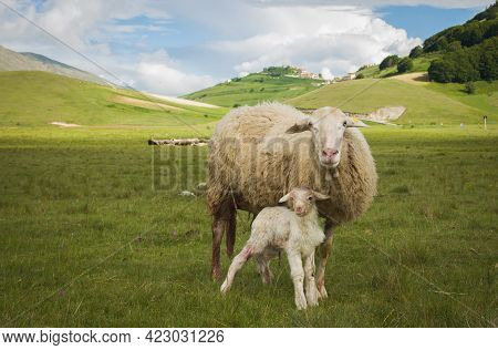 View Of A Tender Moment Between Mother And Baby Lamb In Lush Green Meadow Of Castelluccio Di Norcia,