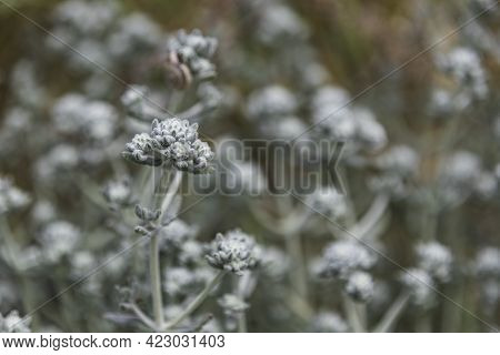 Selective Focus. Otanthus Maritimus Flower Closeup On A Blurred Background.