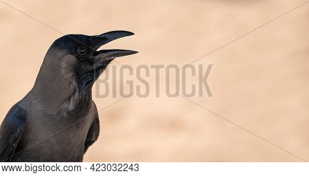 Black Bird Jackdaw Or Raven With Open Beak Black Bird In The Nature Habitat. Black Bird With An Open