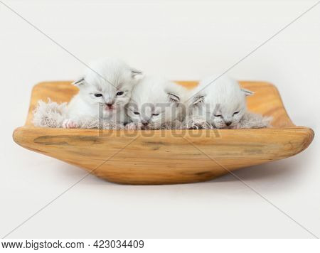 Three adorable tiny ragdoll kittens lying on the wooden stand with fur isolated on white background with copyspace. Cute little cats sleeping together