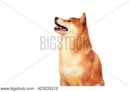 Happy Shiba Inu Dog On Yellow. Red-haired Japanese Dog Smile Portrait.