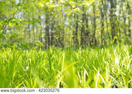 summer field with young grass