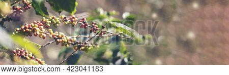 Banner Panoramic Ripe Red Coffee Bean Berry Plant Fresh Seed Coffee Tree Growth Green Eco Organic Fa
