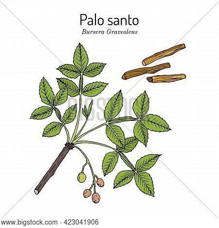 Palo Santo, Or Holy Stick Bursera Graveolens , Wild Tree Of Tropical Forests, Medicinal Plant. Hand