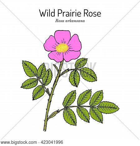 Wild Prairie Rose Rosa Arkansana , Ornamental Plant, Official State Flower Of Iowa And North Dakota.