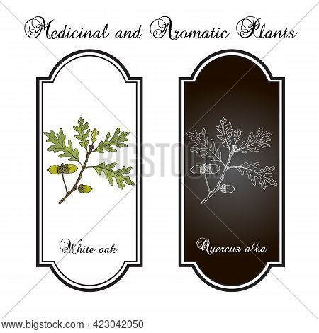 White Oak Quercus Alba , Medicinal Plant, Illinois, Connecticut And Maryland State Tree. Hand Drawn