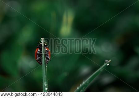 Ladybug Grass With Morning Dew. Background Macro Nature. The Ladybug Collects Raindrops From The Lea