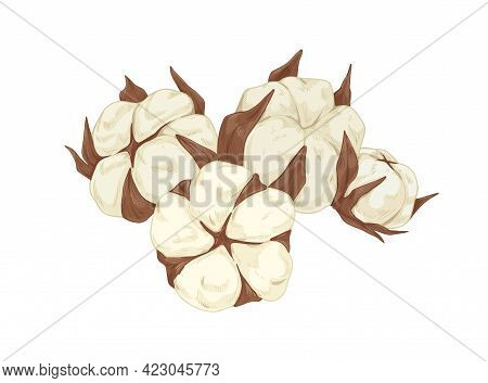 Fluffy Soft Cotton Flower Buds With Leaves. Realistic Blossomed Plant In Vintage Style. Wild Flora.