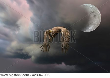 European Bald Eagle Flies Against A Backdrop Of A Dramatically Dark Sky With The Moon. Flying Bird O