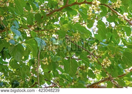 Mulberry Tree And Mulberries With Green Leaves