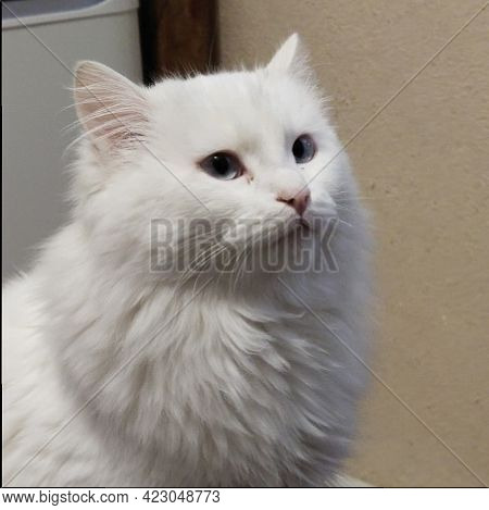 Very White And Fluffy Cat, Sits And Looks