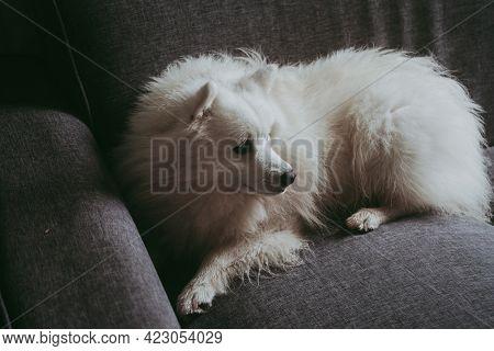 portrait of white fluffy japanese spitz at home