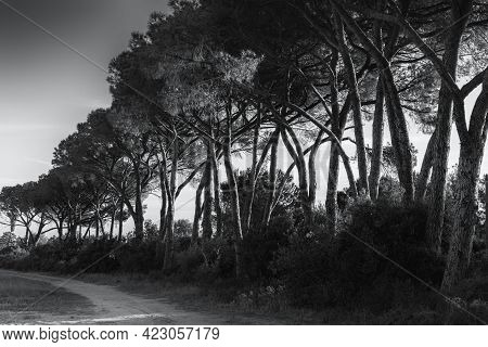 Black And White Image Of Sunlight On An Avenue Of Pine Trees In Corsica
