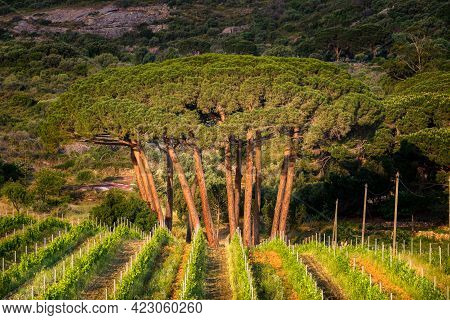 Morning Sun On A Copse Of Pine Trees In A Vineyard At Calvi In Corsica