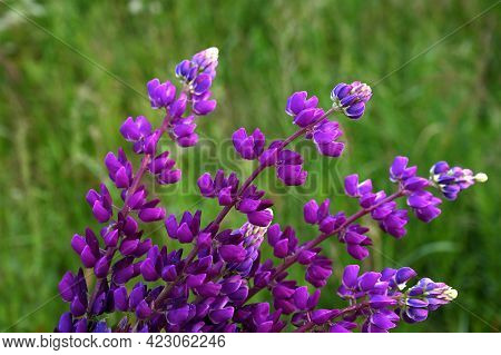 Blooming Macro-lupine Flower. A Beautiful Bouquet Of Purple Lupine Flowers. Summer Floral Background