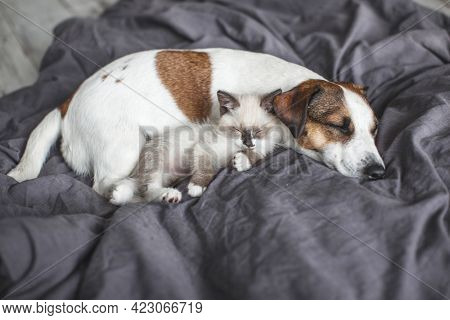 Dog and cat sleeping together. Dog and small kitten on gray blanket at home