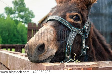 Donkey In The Stable. Close Up Photo Of A Donkey Face In Bridle.