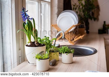 Purple Hyacinth, Houseplants On The Kitchen Table. Waste-free Production. Sink, Tap, Dishes Near The