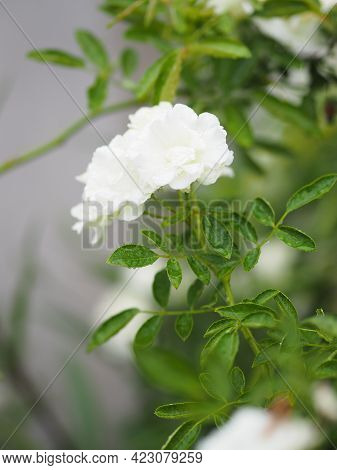 White Rose Flower Blooming In Garden Blurred Of Nature Background, Copy Space Concept For Write Text