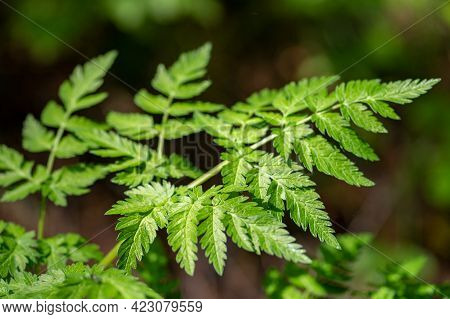 Beautiful Uncultivated Wild Green Fern Plant In The Forest, Close Up