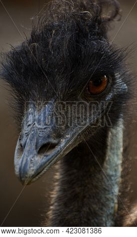 The Emu (dromaius Novaehollandiae) Is The Second-largest Living Bird By Height
