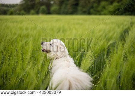 Happy Big White Sheepdog Walking On Green Rye Field. Pet Guards The Field With Harvest.